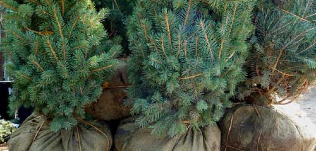 Ball & Burlap Live Christmas Trees!