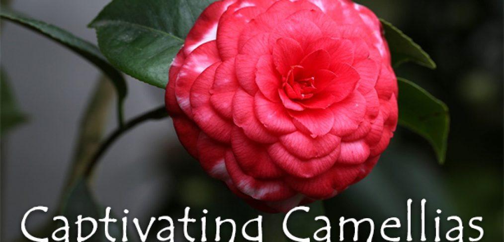 Captivating Camellias