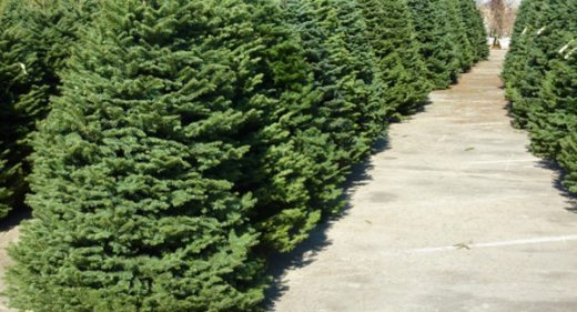 Christmas Trees Lot