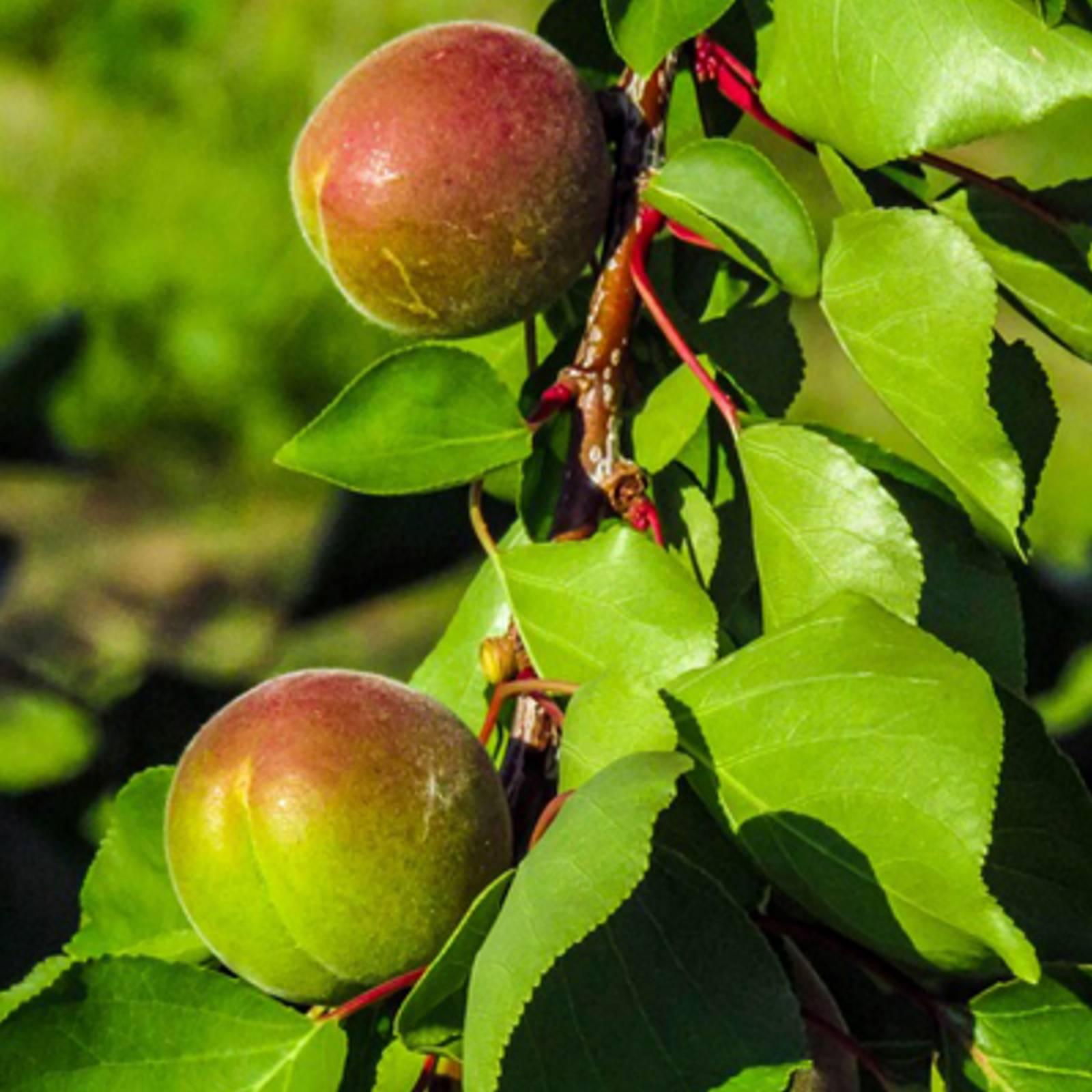 3-in-1 Plantings: 3 Fruit Trees