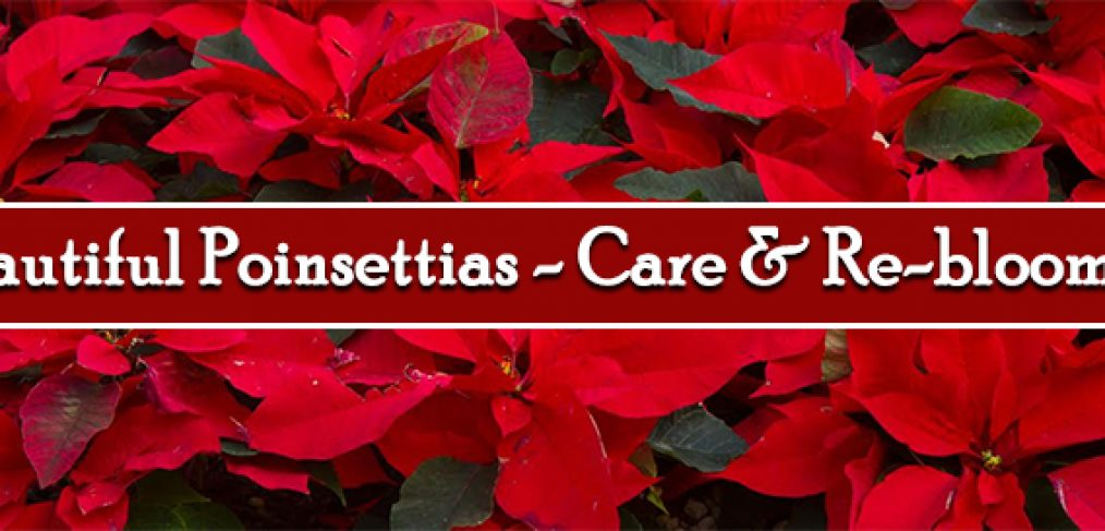 Beautiful Poinsettias - Care and re-blooming