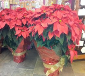Care of Your Poinsettia