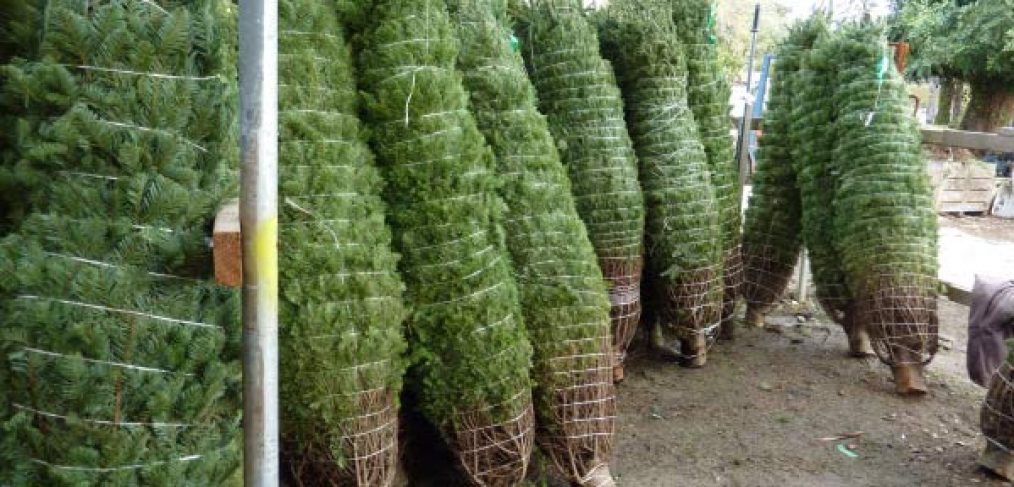Super Saver Christmas Trees