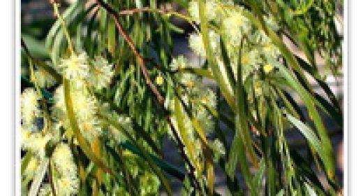 acacia-emerald-cascade