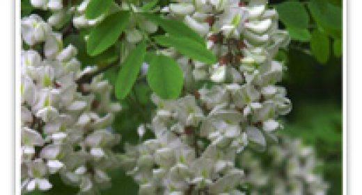 acacia-yellow