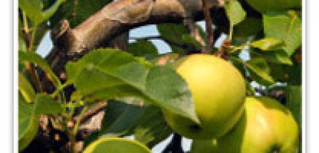 APPLE YELLOW DELICIOUS SPUR