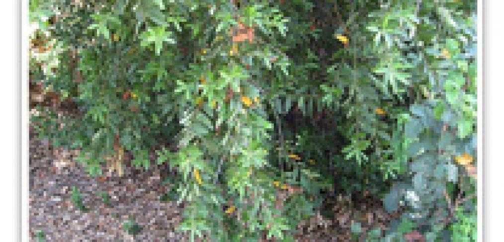 baylaurel-california