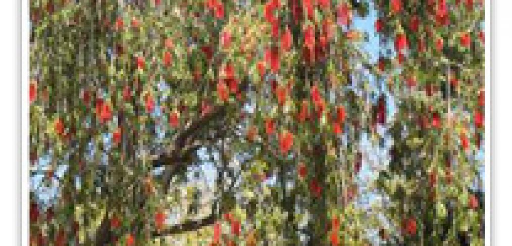 bottlebrush-weeping