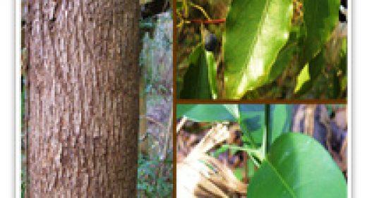camphor-tree