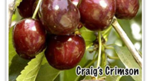 CHERRY CRAIG'S CRIMSON