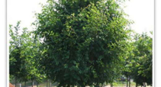 CHINESE ELM BOSQUE