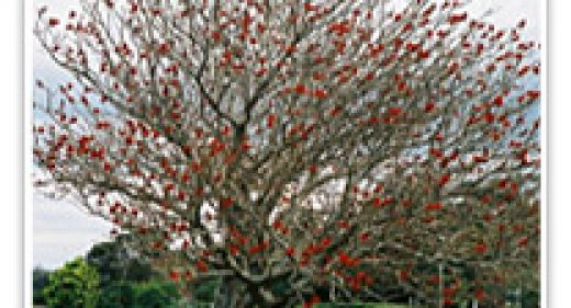 coral-tree