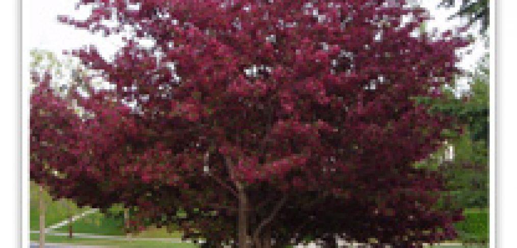 CRABAPPLE ROYALTY FLOWERING