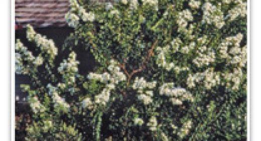 CRAPE MYRTLE GLENDORA WHITE