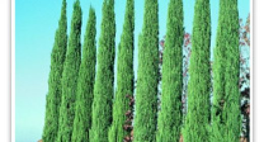cypress-blue-italian