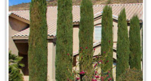 cypress-italian