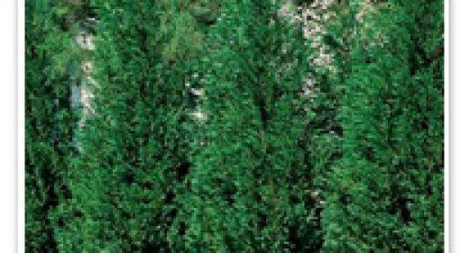 cypress-leyland