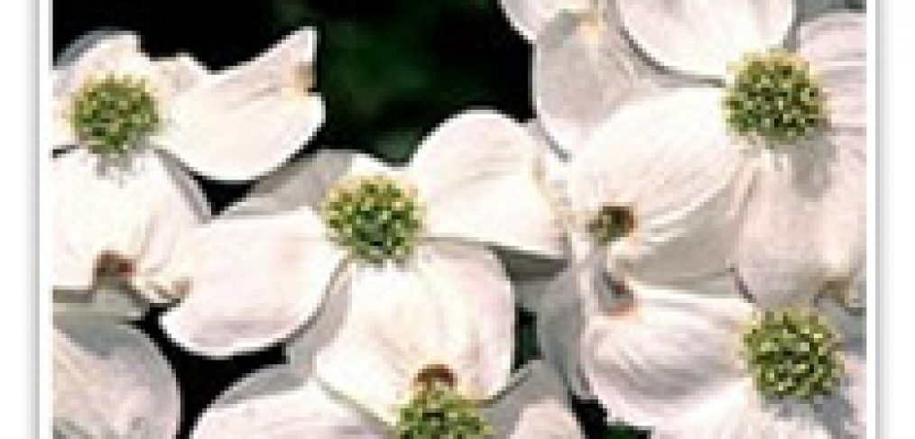 DOGWOOD WHITE FLOWERING