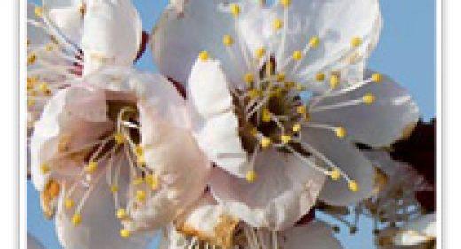 FLOWERING APRICOT BONGO