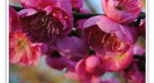 FLOWERING APRICOT DAWN