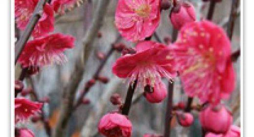 FLOWERING APRICOT MATSUBARA RE