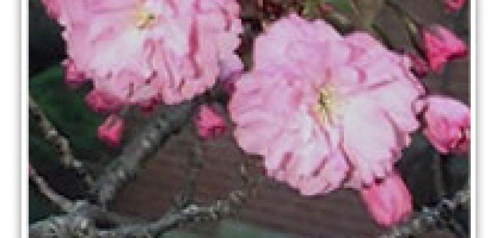 FLOWERING CHERRY KWANZAN