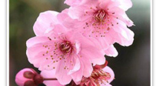 FLOWERING PLUM BLIRIEANA