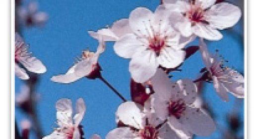 FLOWERING PLUM KRAUTER VESUVIU