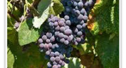 GRAPE EASTERN CONCORD SEEDLESS
