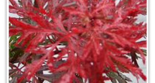 JAPANESE MAPLE RED DRAGON LACE