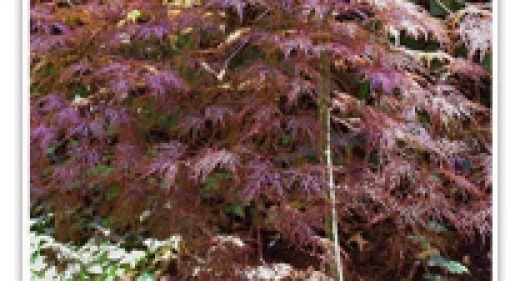 JAPANESE MAPLE RED LACELEAF