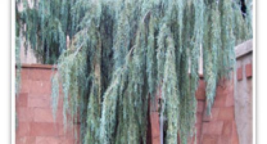 juniper-weeping-tollensons
