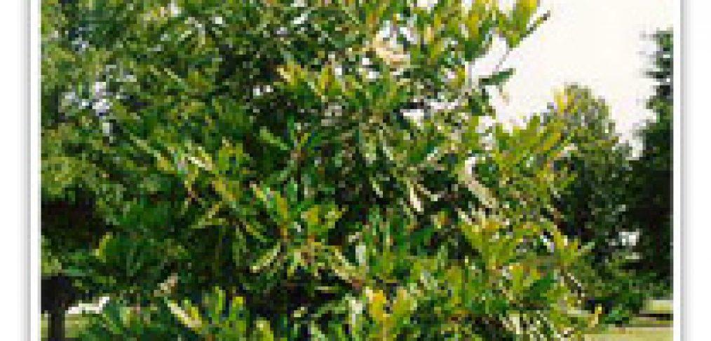 magnolia-little-gem-dwf