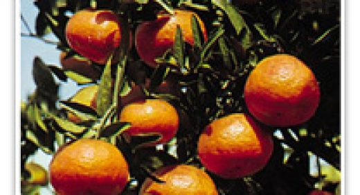 MANDARIN CALIFORNIA HONEY