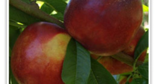 NECTARINE INDEPENDENCE