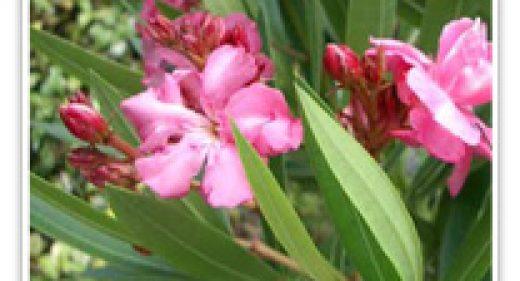 oleander-light-pink