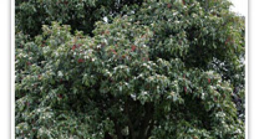 photinia-std-tree