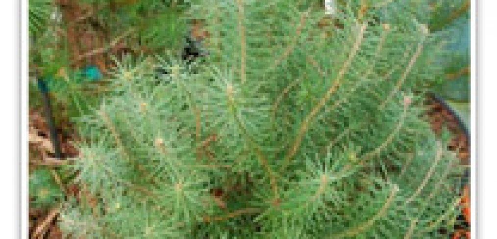 pinus-italian-stone-cone
