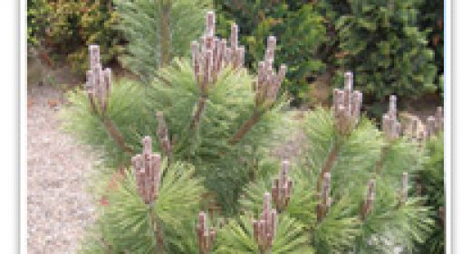 pinus-japanese-black