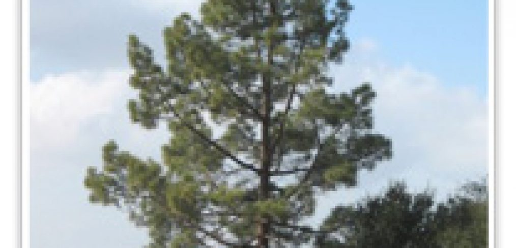 pinus-jeffery