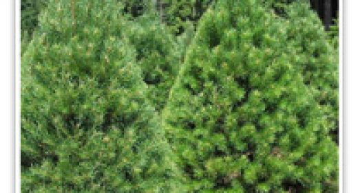 pinus-scotch