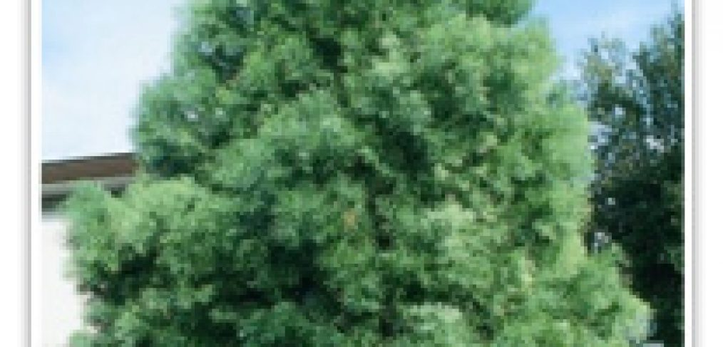 podocarpus-fern-cloud