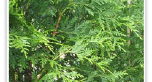 redcedar-western-virescense