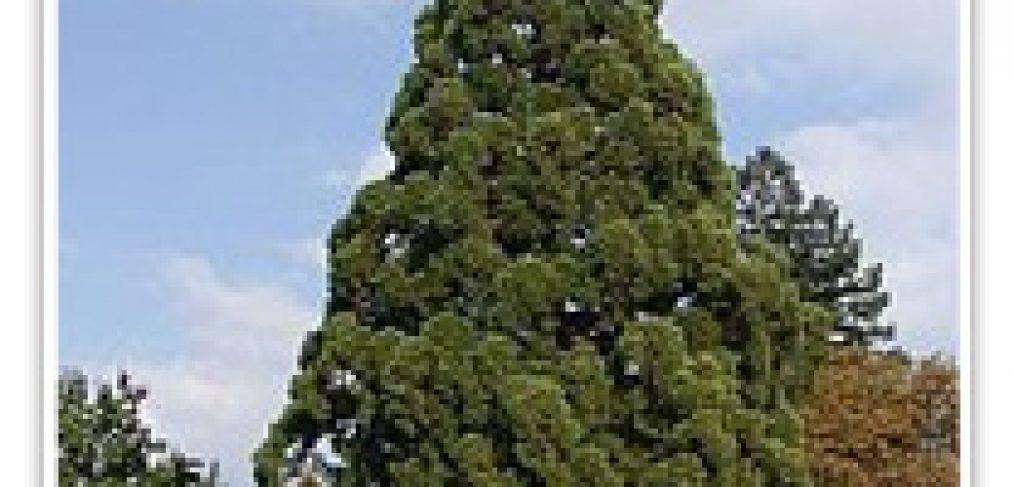 redwood-giant-sequoia