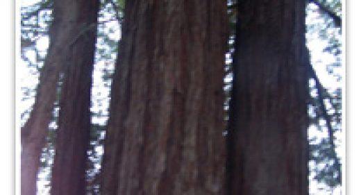 redwood-losaltos-coastal