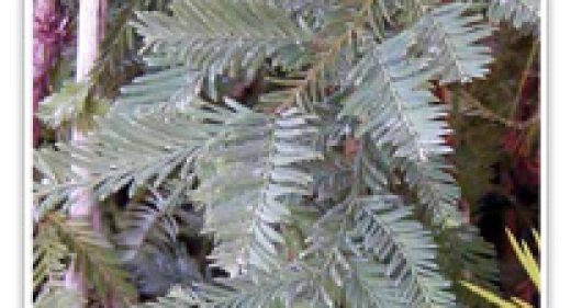 redwood-simpsons-silvercoast