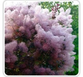 SMOKE TREE ROYAL PURPLE