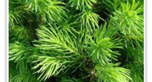 spruce-alberta-dwf