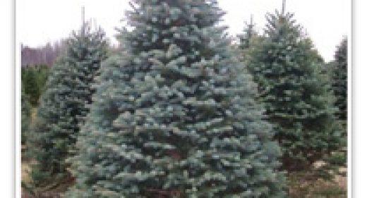 spruce-colorado-blue