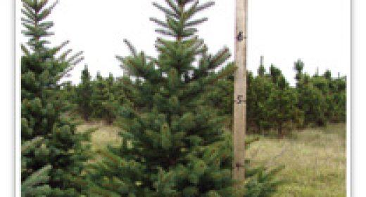 spruce-colorado-green